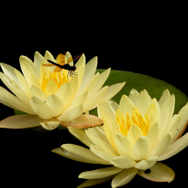 """""""Cream-colored Waterlily - with Dragonfly"""" stock image"""