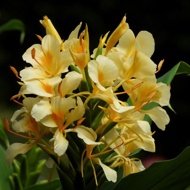 """Yellow Hedychium flavscens"" stock image"