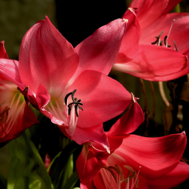 """""""Red Lily cluster"""" stock image"""