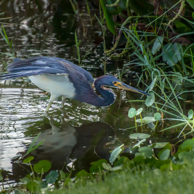 """""""Young Blue Heron Wings Spread"""" stock image"""