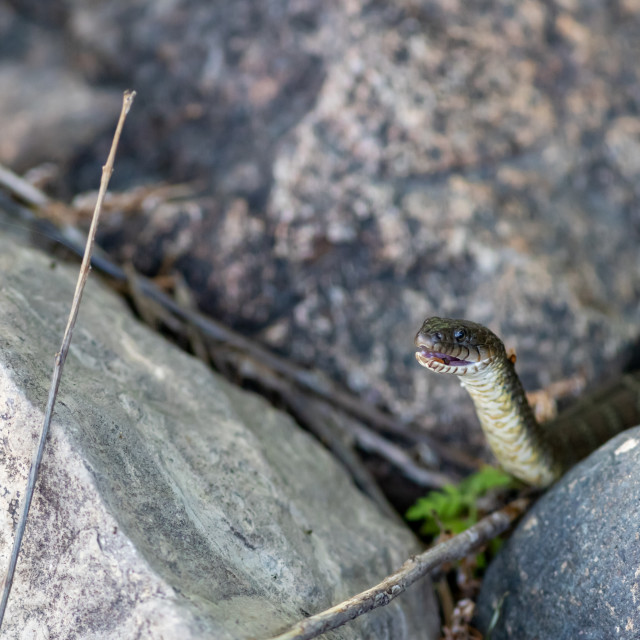 """""""Water snake with its head raised and mouth open"""" stock image"""