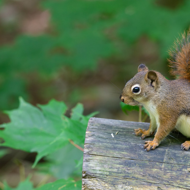 """""""Red squirrel sitting on a cut log"""" stock image"""