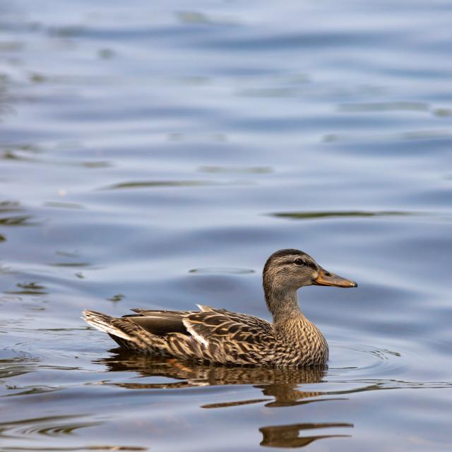 """Female mallard duck swims on sheen water"" stock image"