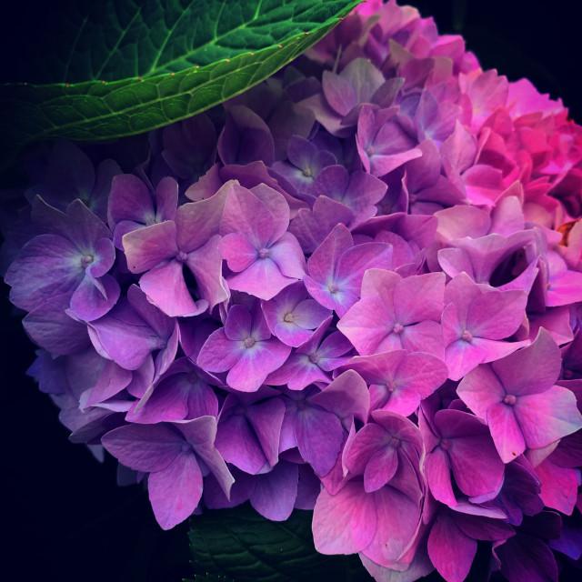 """Purple Hydrangea"" stock image"