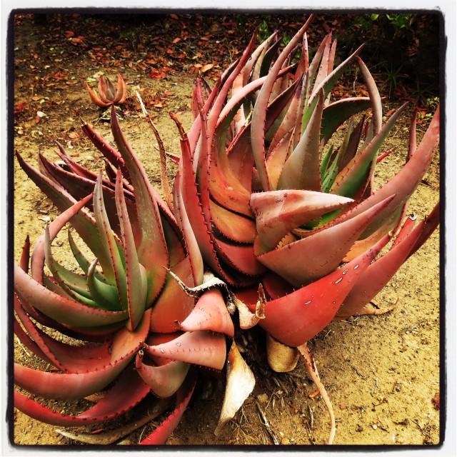 """Catalina cactus"" stock image"