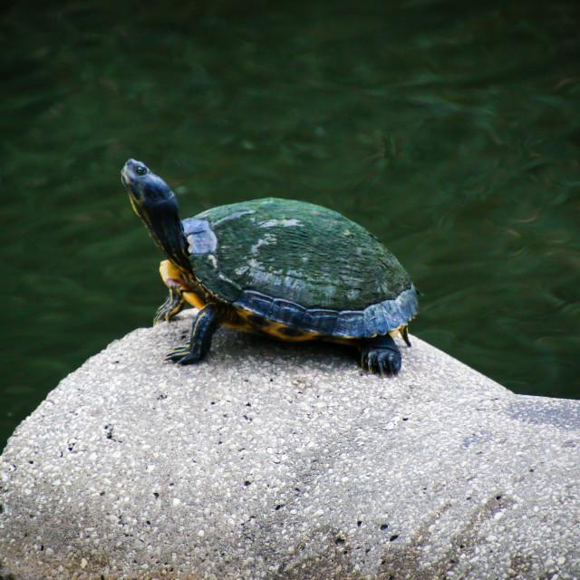 """Turtle or Tortoise"" stock image"