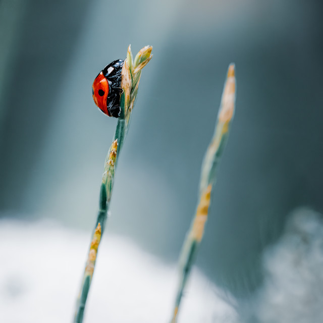 """Ladybird on a grass stem, Cambridge UK."" stock image"