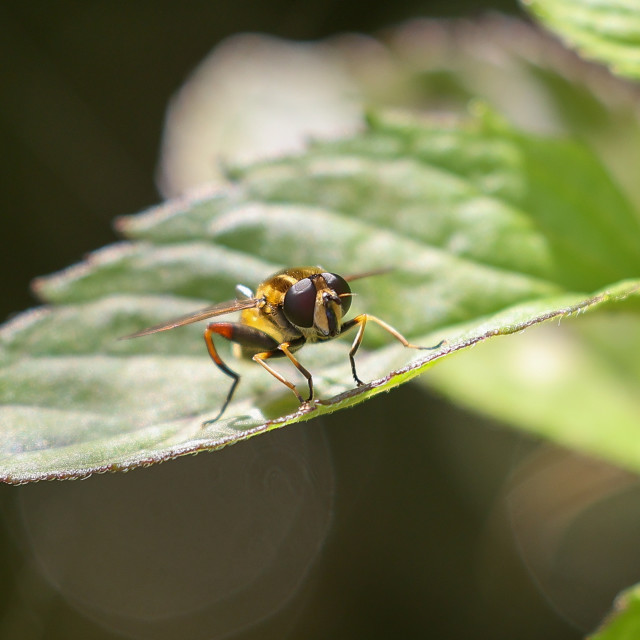 """""""Footballer Hover Fly"""" stock image"""