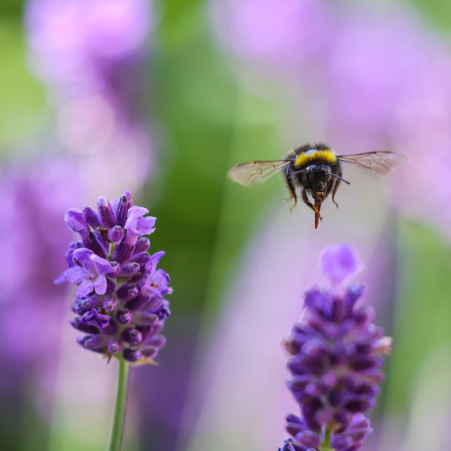 """""""White-tailed Bumble Bee"""" stock image"""