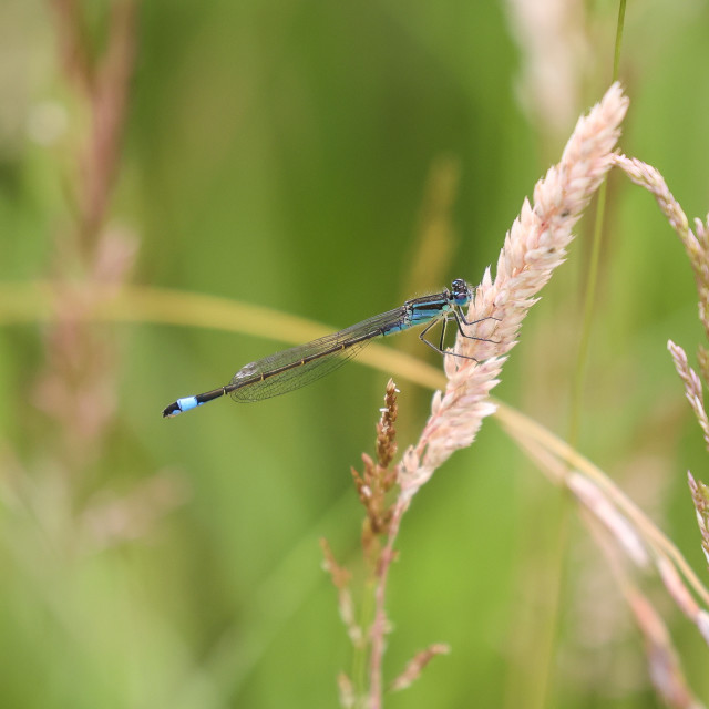 """Blue-tailed Damselfly"" stock image"