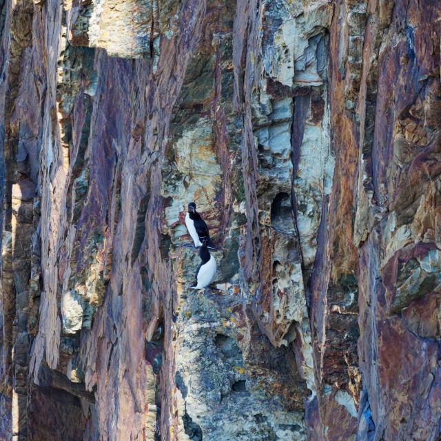 """Razorbills on a cliff ledge"" stock image"