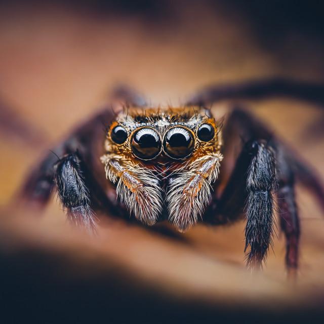 """""""Closeup of a Hasarius Adansoni Jumping Spider"""" stock image"""