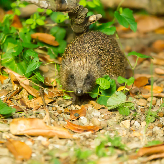 """""""Young Hoglet"""" stock image"""