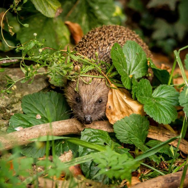 """Peekaboo hedgehog"" stock image"