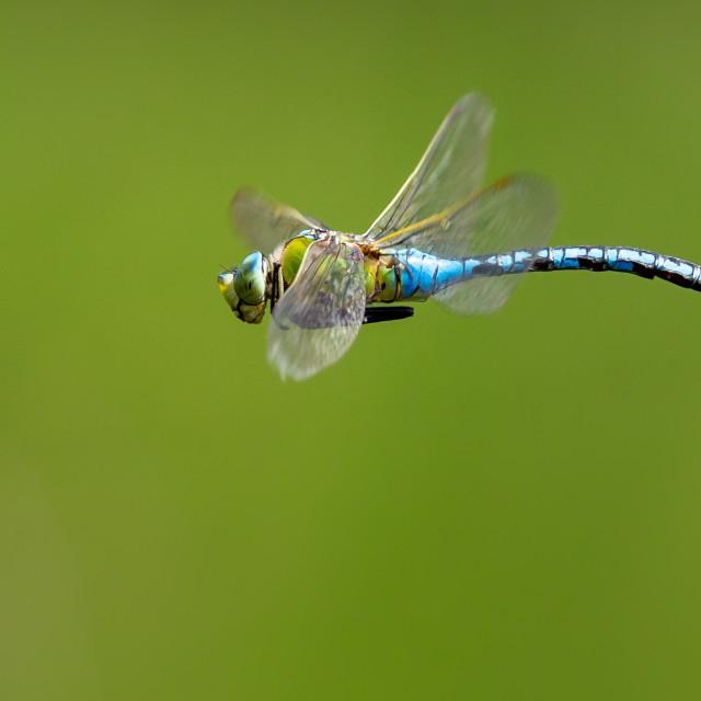 """Male Emperor Dragonfly Flight"" stock image"