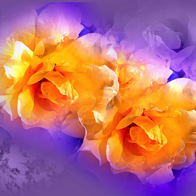 """""""Yellow Roses on a purple background"""" stock image"""