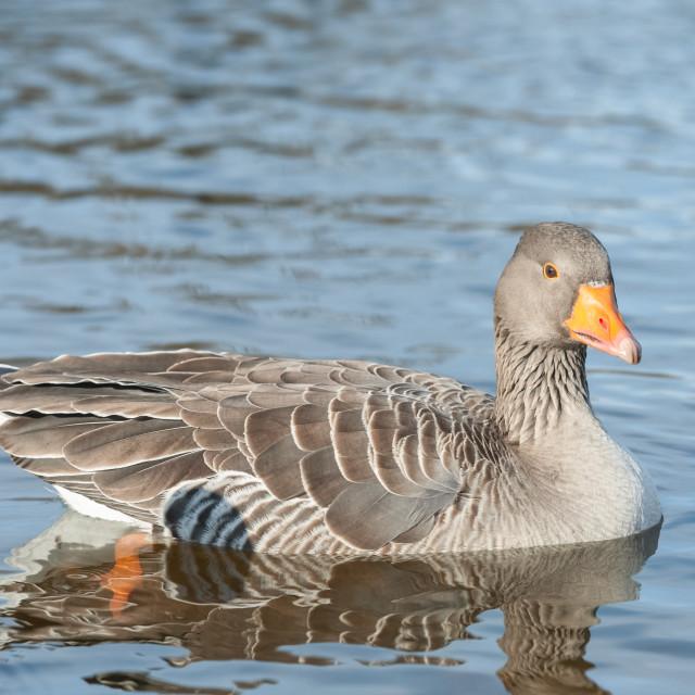 """goose on a lake"" stock image"