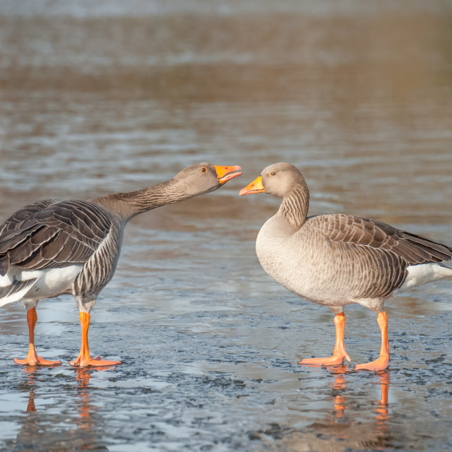 """""""geese on a frozen lake"""" stock image"""