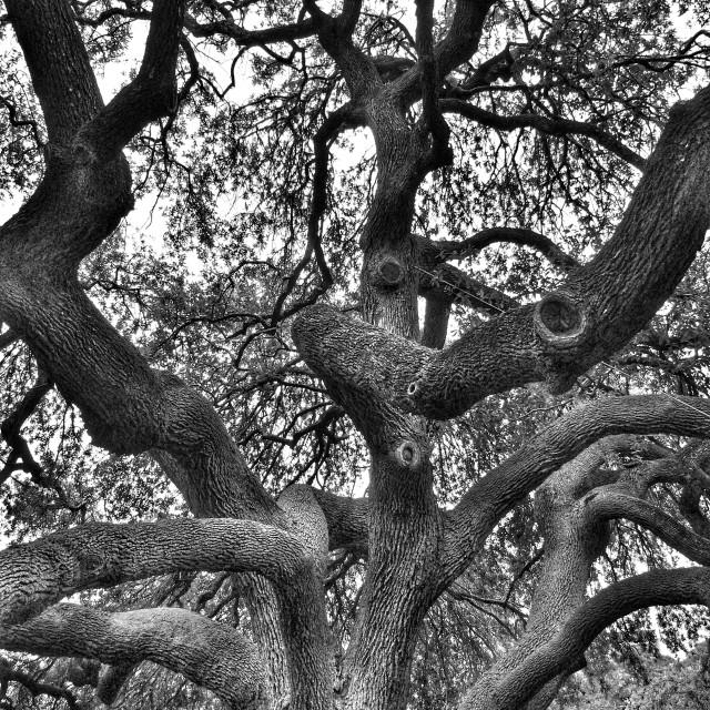 """Alamo gnarly tree"" stock image"
