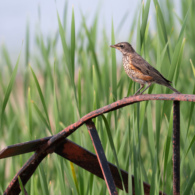 """""""Juvenile American Robin Perched on Old Rusty Wheel"""" stock image"""