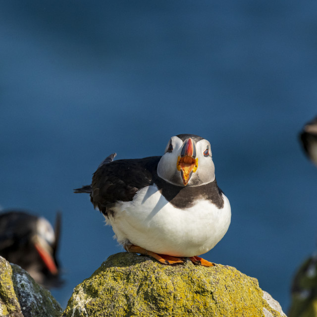 """""""Sitting puffin"""" stock image"""