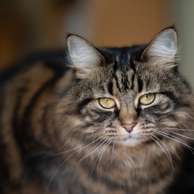 """Tabby cat portrait indoors iV"" stock image"