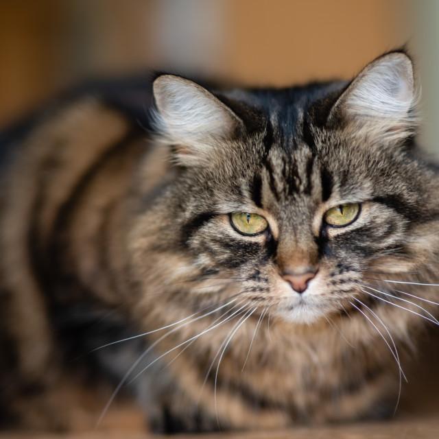 """Tabby cat portrait indoors V"" stock image"