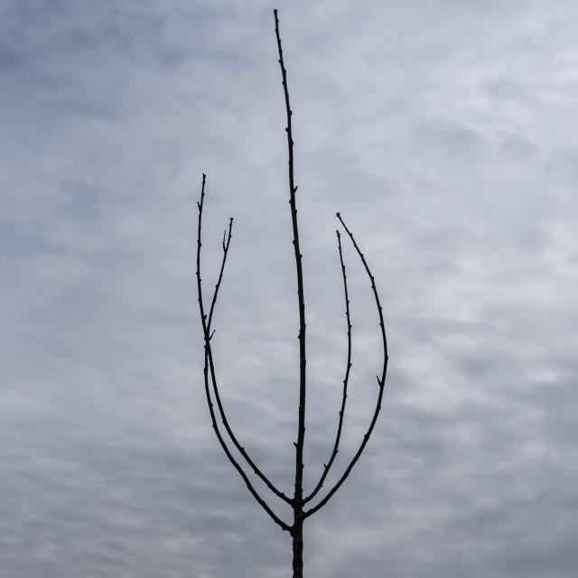 """Lone bare sapling framed against clouded sky"" stock image"