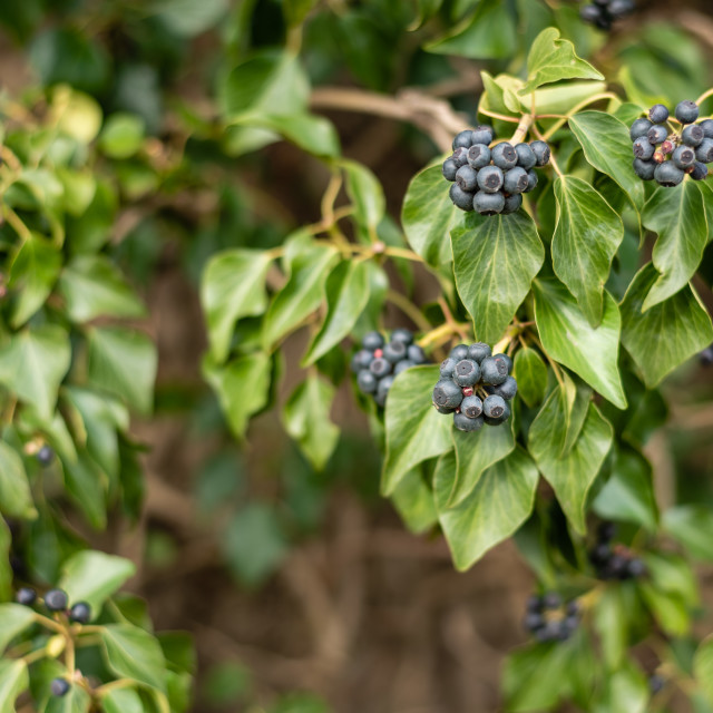 """""""Hedera helix, Ivy leaves and berries"""" stock image"""