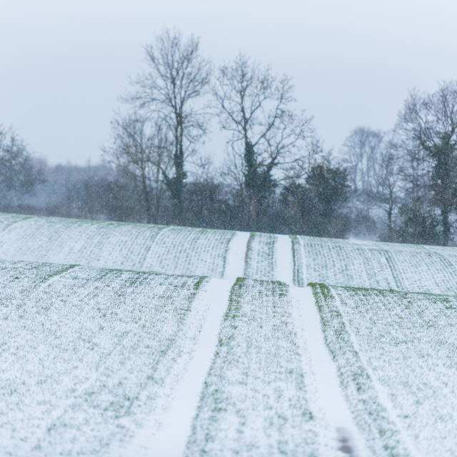 """""""Snowy field with tractor tracks and treeline, Norfolk"""" stock image"""