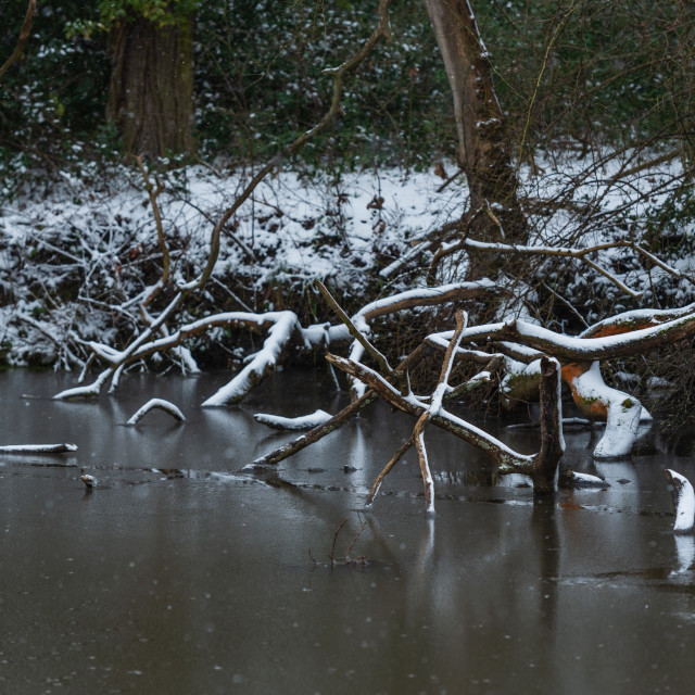 """""""Snow covered twisted tree branches fallen into pond, Norfolk ii"""" stock image"""