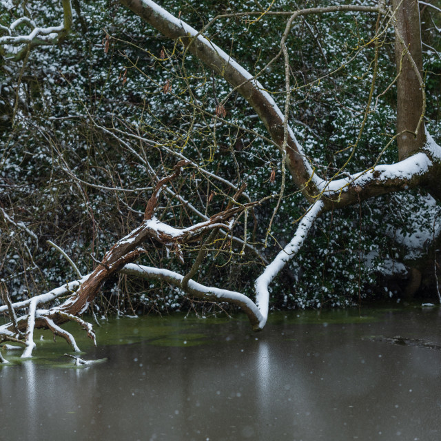 """""""Snow covered twisted tree branches fallen into pond, Norfolk i"""" stock image"""