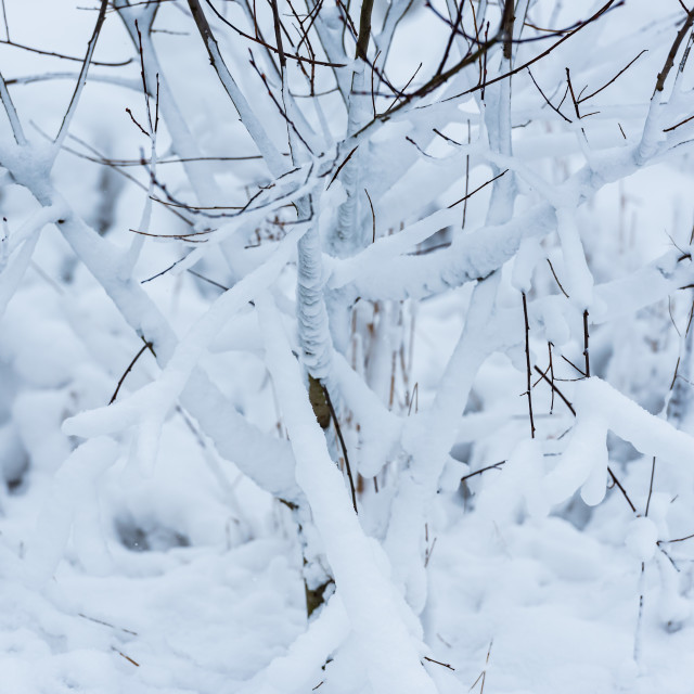 """""""Snow and ice encrusted sapling"""" stock image"""