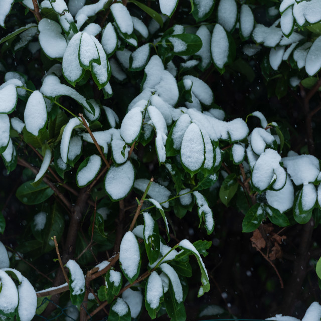 """""""Hedge with snow covered leaves"""" stock image"""