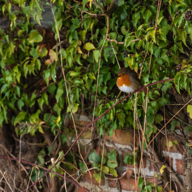 """""""Erithacus rubecula Robin on ivy covered red brick wall"""" stock image"""