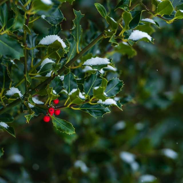 """""""Ilex aquifolium Holly with red berries and snow covered leaves"""" stock image"""