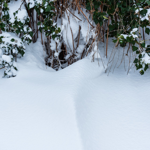 """""""Snow bank up against hedgerow"""" stock image"""