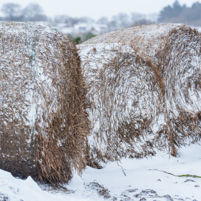 """""""Round hay bales and snow blocking field entrance, Norfolk ii"""" stock image"""