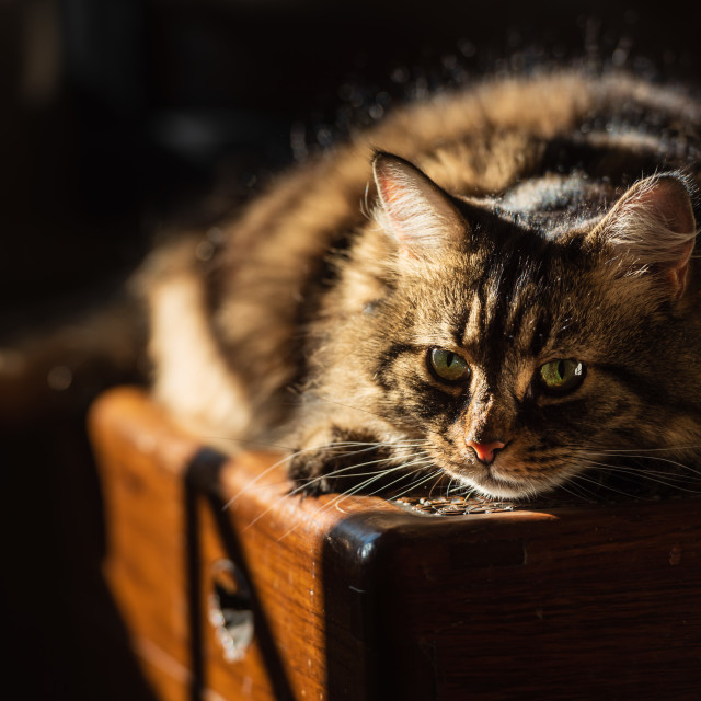 """""""Tabby cat lying on wooden chest in sunlight ii -eye contact"""" stock image"""