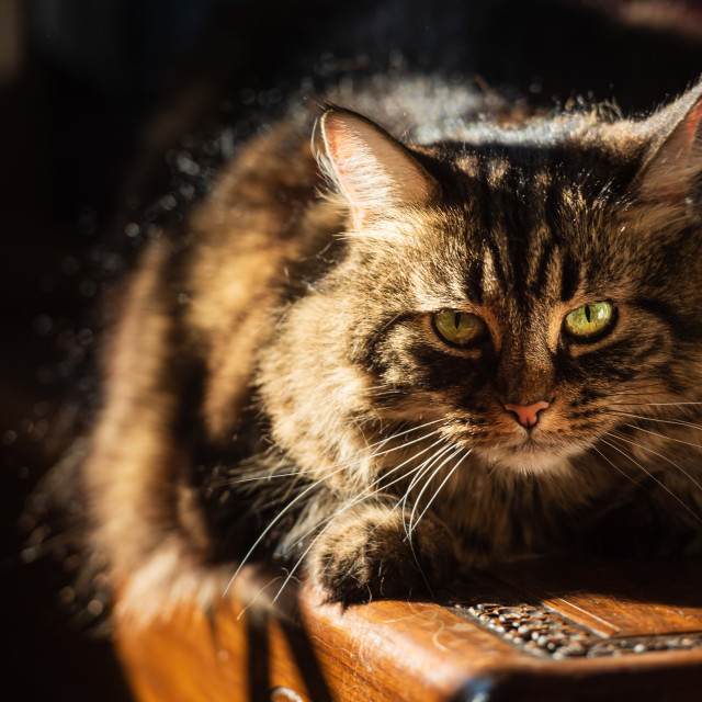 """""""Tabby cat lying on wooden chest in sunlight iii -eye contact"""" stock image"""