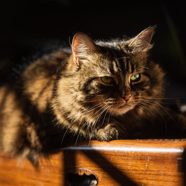"""""""Tabby cat lying on wooden chest in sunlight iv - looking away"""" stock image"""