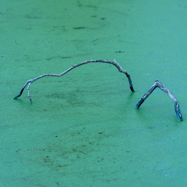 """""""Dead branches in green stagnant water"""" stock image"""