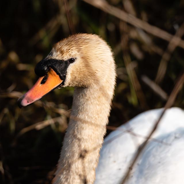 """""""Mute Swan headshot i"""" stock image"""