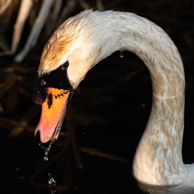 """Mute Swan headshot ii"" stock image"