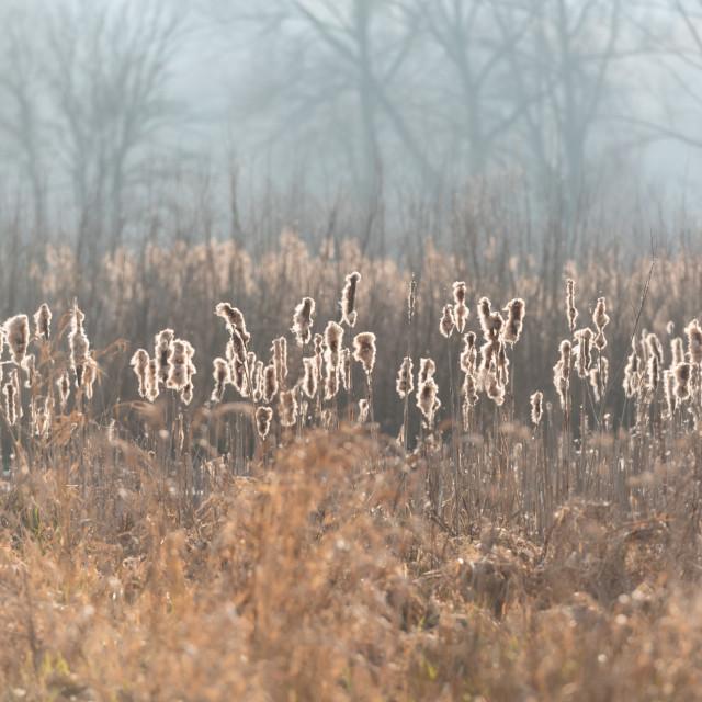 """Backlit bullrushes, Norfolk Broads ii"" stock image"