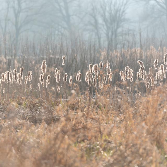 """Backlit bullrushes, Norfolk Broads i"" stock image"