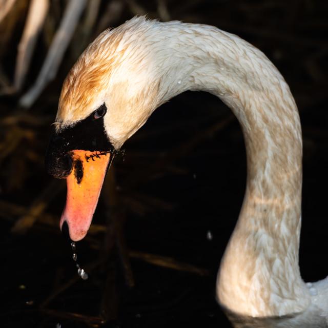 """Mute Swan headshot iii"" stock image"