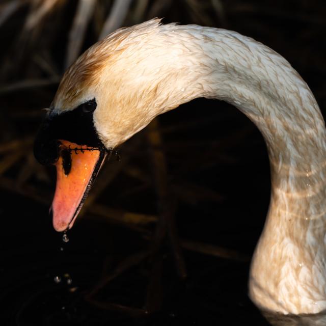 """""""Mute Swan headshot iv"""" stock image"""