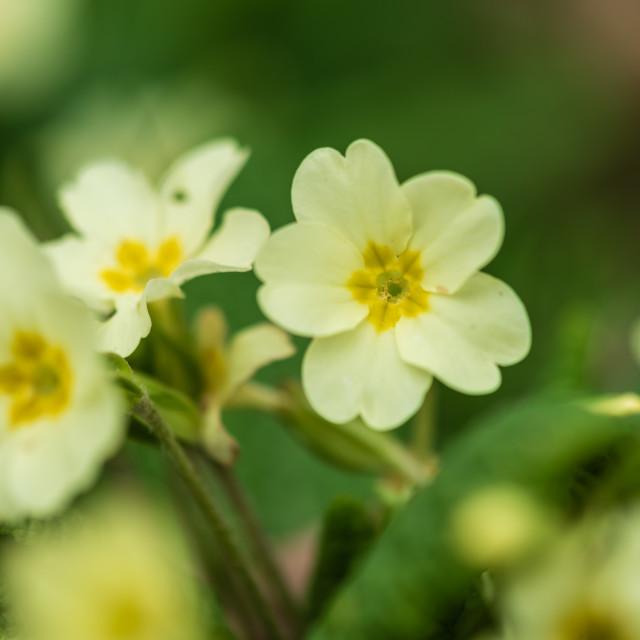 """Primula vulgaris - Primrose flowers"" stock image"