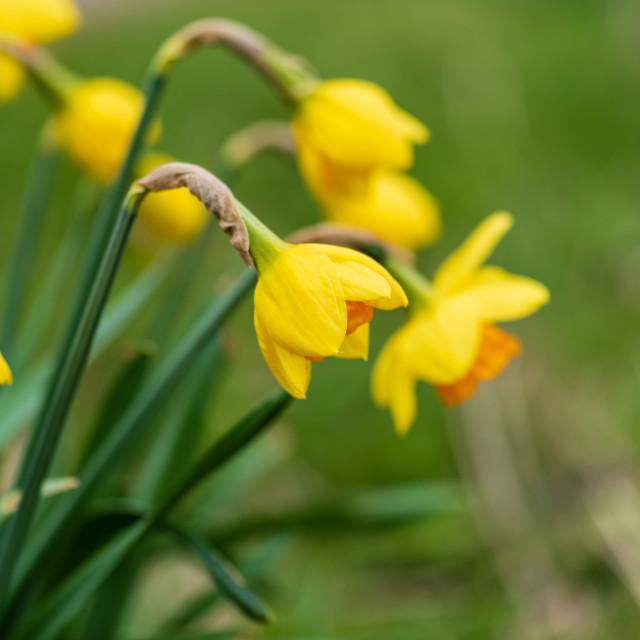 """Verge daffodils i"" stock image"
